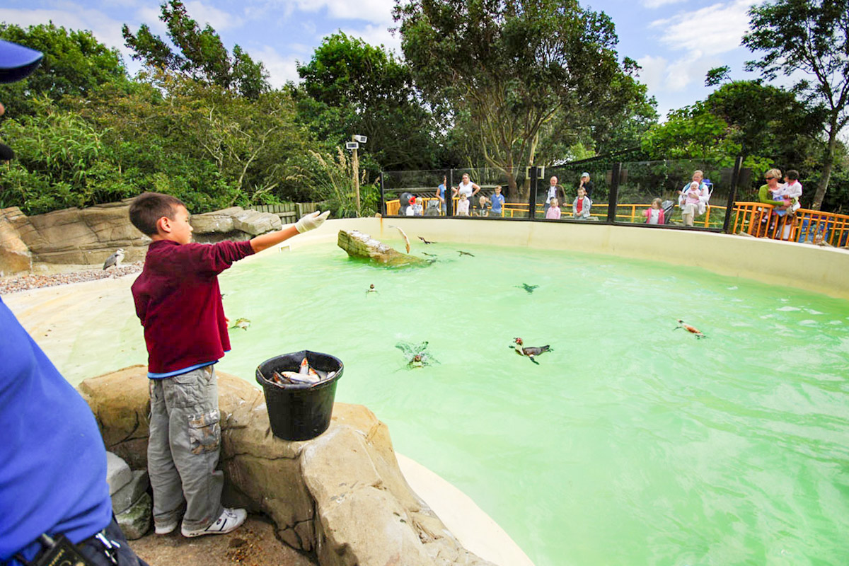Penguin Feeding Experience for One at Drusillas Park