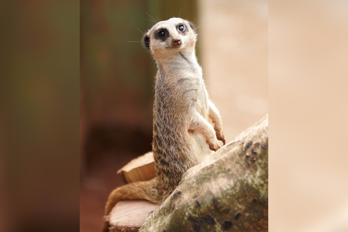 Feed the Meerkats at Dartmoor Zoo