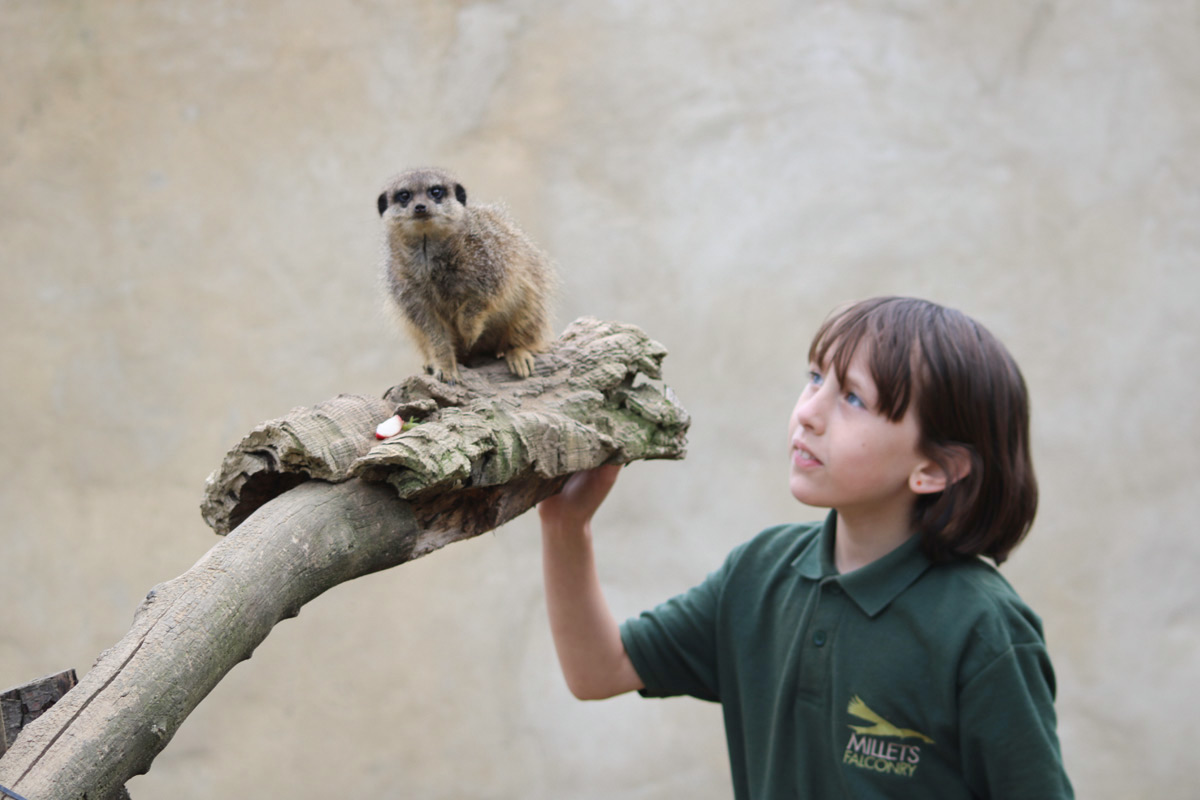 Meet and Feed the Meerkats at Millets Falconry Centre