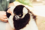 Up-Close Lemur Encounter at Woburn Safari Park